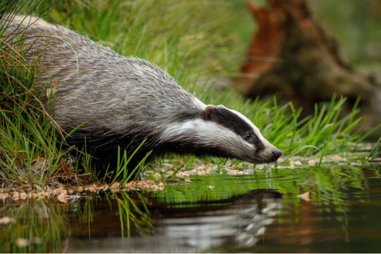 Badger Protection - Greenways Countryside Management