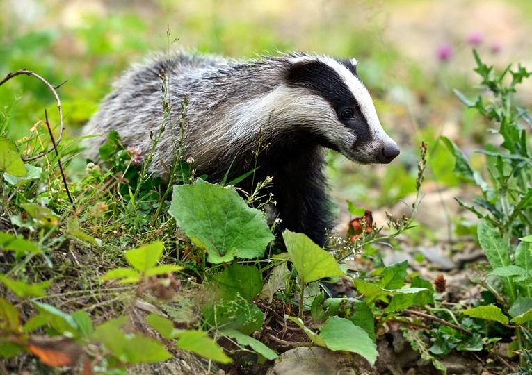 Badger Protection Works
