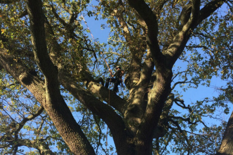 Tree Surgery Services - Greenways Contryside Management